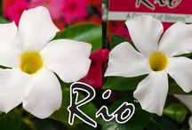 Introducing White Rio Blooms / Rio Dipladenias are now available in white blooms, perfect for a cool evening garden!