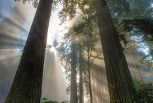 Redwoods / by Caroline Allred Benson