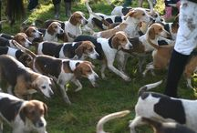 """You Can Never Have Too Many Beagles! / """"Snoopy didn't start out being a beagle.  It's just that 'beagle' is a funny word."""" - Charles M. Schultz / by Shelley Holcomb Swierczek"""