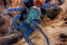 Green Bottle Blue Tarantula