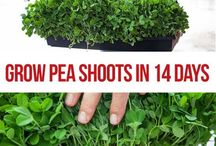 Growing Sprouts & Microgreens / Tips and tricks for growing sprouts and microgreens at home.