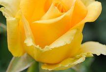 Virág rózsa