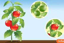 Как дозреть зеленые помидоры
