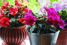 Kompozycje kwiatowe w donicach / Kwiaty to nie tylko ozdoba naszego balkonu, ale i źródło przyjemnych zapachów, które umilą nam pobyt na świeżym powietrzu. Wiele roślin nadaje się bardziej do posadzenia w ogrodzie lub na tarasie, ponieważ pachną zbyt intensywnie i mogą nam przeszkadzać. Na szczęście wybór kwiatów, które możemy uprawiać na balkonie jest spory, a i zapachy bardzo różnorodne. Z pewnością każdy znajdzie coś dla siebie, nawet najbardziej wybredni.