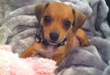 Best Dog Ever... The Chiweenie!!! / by Alyssa Woodward