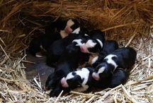 puppy's border collie