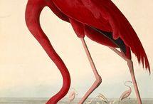 Audubon, J.J. (1785-1851)