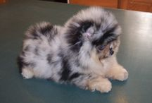 Pomeranians.  / Pomeranians.