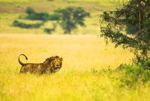 Uganda / A compilation of Uganda safari animals, parks and the people that make it possible!