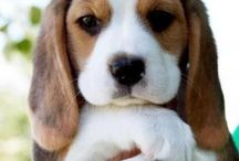 Beagle - my favourite dogs