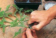 Plantations potagères