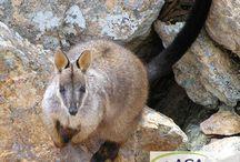 Kleines Felskänguru in großer Not / Das kleine Felskänguru war einst weit verbreitet im Südosten Australiens. Doch diese Beuteltiere sind vom Aussterben bedroht. www.aga-artenschutz.de/kaengurus.html