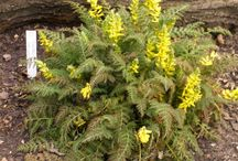 Skalničky, alpine plants