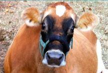 jersey cows / by Brittanie Grimmett