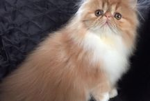 Beaufeline Exotics & Persians / Exotics & Persians