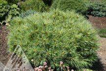 Garden Conifer / Including heaths, heathers, and other evergreen trees and shrubs. / by Anne Baker
