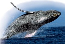 Beautiful Whales / by Big Miracle Movie