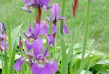 Growing Water Iris
