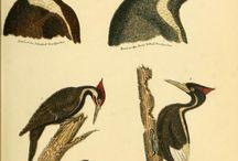 Alexander Wilson - American Ornithology, Vol. 1-3 (1808-1814)