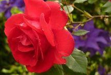 Rose Flowers / by Samuel Eshetu