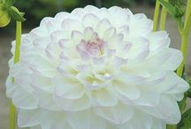 white beauty Dahlia