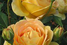 Guller -Roses