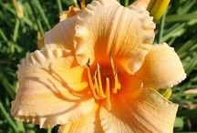 daylilies / by Anyse