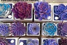 coloured succulents