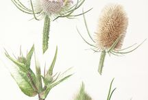 Florilegium Society Exhibition 2015 / A small selection of the botanical paintings which feature in this years exhibition, London's Secret Garden, Plant Portraits from Chelsea Physic Garden Florilegium Society Exhibition.