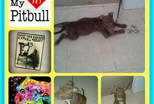 Pitbull Lover / Mommy of Apolo, red nose pitbull