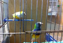 Gouldians / My finches
