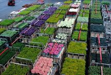 Aalsmeer Flower Auction, Amsterdam. / The growers, protected horticulture and the worldwide flower trading. Holland Flower Tours.