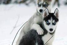 Huskies / My most favourite dog <3
