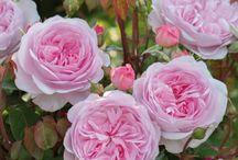 roses    rós
