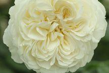 különleges rózsák