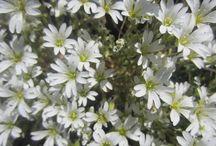 アルプスのお花達