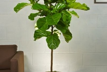 Our Plant Selection / Premium live indoor floor plants, ready to be delivered to your home and office.