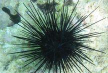 Equinodermos-Classe Echinoidea