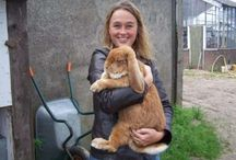 French lop ♥