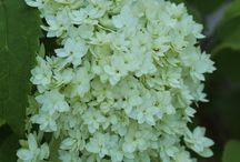 Hydrangeas from Vaahteramäki  ノリウツギ / hortensiat, Hydrangeas,  ノリウツギ