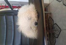 meu cachorro toy
