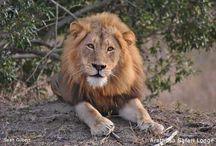 Lions: Khuhuma Pride