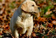 My Labrador Photography / Labrador Retriever puppies bred by Trinity Labradors. Photos by Kathleen Ann Photography.  / by Kathleen Ann