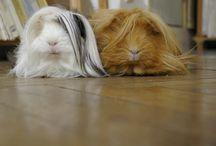 I love guinea pigs!