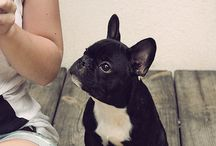 Dogs / French bulldog