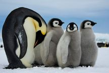 Penguins / by Debbie Shelley Blair