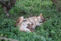 Afrika - Serengeti / Reis Afrika