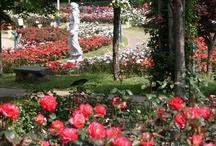SGP - Rose Garden / SGP - Rose Garden