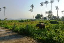 Animals on Samui