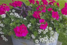 Geranium Gardening Ideas